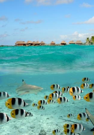 Un récif requin pointe noire papillon chasse du poisson dans les eaux peu profondes, l'eau claire du lagon de Bora Bora, une île de l'archipel de Polynésie Tahiti français avec une station bungalow sur pilotis en arrière-plan.