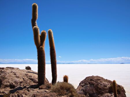 incahuasi: Two giant cactus at the border of the Salar de Uyuni salt lake near Uyuni, Bolivia. The cactus live on the island Isla del Pescado or Isla Incahuasi inside the Salar.