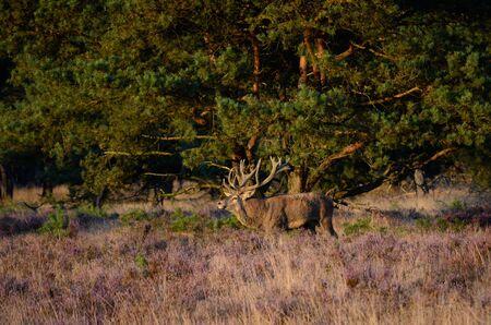 veluwe: Male red deer (Cervus elaphus) in the heath during the rutting season in national park Hoge Veluwe in the Netherlands.