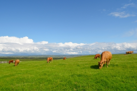 Cows grazing in the meadow in an Irish landscape. photo