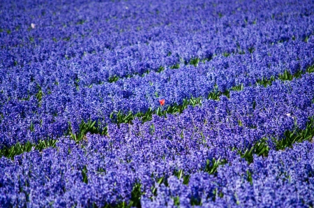 bulb tulip: One different red tulip in a field of blue hyacinths in the flower bulb region in Holland. Stock Photo