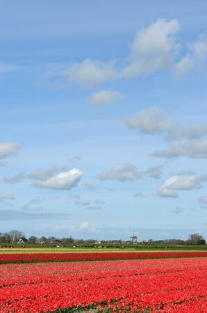A field of red tulips and a windmill under a blue sky with clouds in Holland. photo