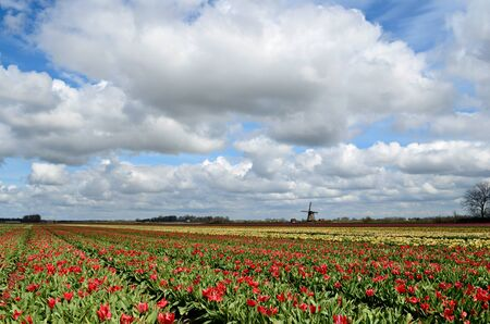Colorful fields of tulips and a windmill under a cloudy sky in Holland. photo