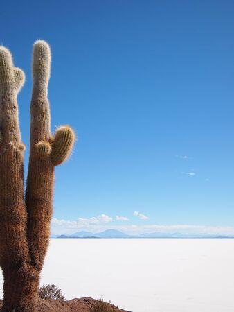 incahuasi: Giant cactus at the border of the Salar de Uyuni salt lake near Uyuni, Bolivia. The cactus lives on the island Isla del Pescado or Isla Incahuasi inside the Salar.