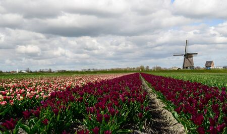 Colorful fields of tulips and a windmill under a cloudy sky in Holland. Stock Photo - 17957816