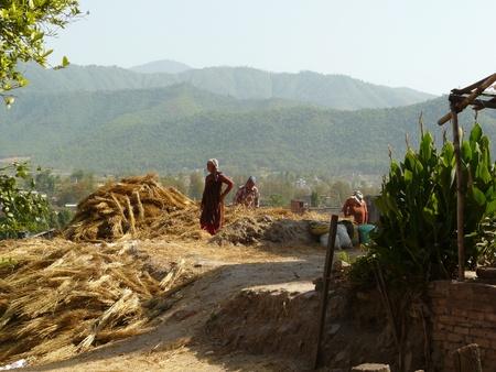 thresh: The traditional way of harvesting wheat in Bhaktapur, Nepal. Editorial
