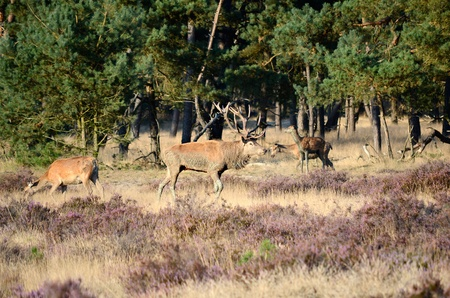 Male red deer  Cervus elaphus  with his females  hinds  in the forest during the rut in national park Hoge Veluwe in the Netherlands  photo