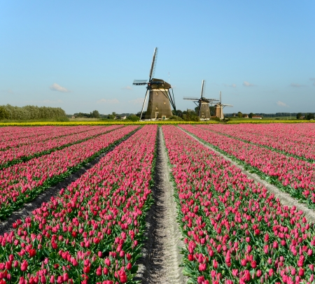 holland landscape: Field of red tulips and windmills in Holland  Stock Photo