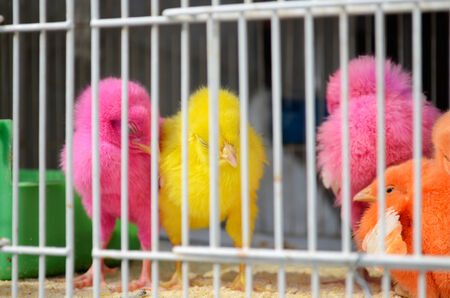 souk: Young chicks painted in pink, yellow and orange colors in a birdcage in the souq, the old market of Doha in Qatar  Stock Photo