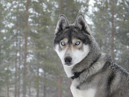 sled dog: Siberian husky dog (sled dog) with blue eyes in the snow.