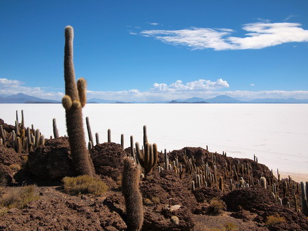 incahuasi: Giant cactus at the border of the Salar de Uyuni salt lake near Uyuni, Bolivia. The cactus grow on the island Isla del Pescado or Isla Incahuasi inside the Salar.