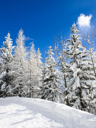 wintersport: Snow trees under a blue sky in a ski resort area in winter.