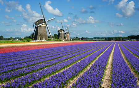 Purple and pink hyacinth flowers in front of three windmills in the Bulb Region in Holland. Stock Photo