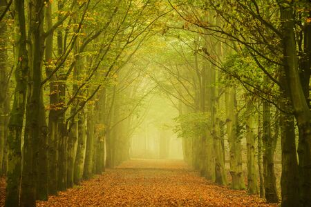 forest path: Green beech trees along a forest path in the fog creating a tunnel towards the light.