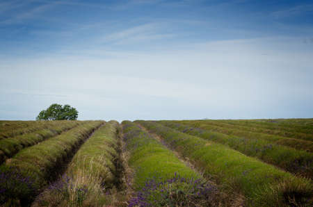 cotswold: Straight rows of lavender plants in a field after harvest. Stock Photo