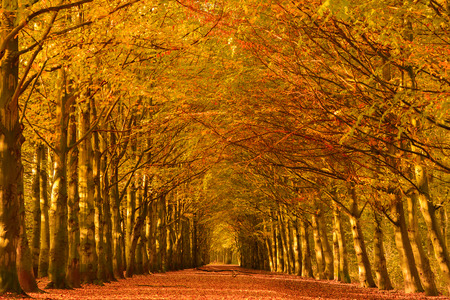 Lane through the beech trees in a forest in autumn colors with fallen leaves on the ground.