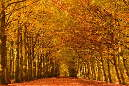 Rijstrook door de beuken in een bos in de herfst kleuren met gevallen bladeren op de grond.
