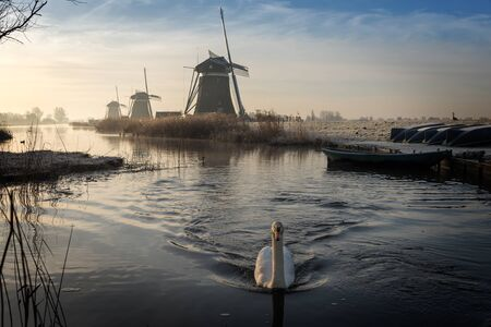 mute swan: A white swan swimming in a stream on a foggy winter morning during sunrise in a landscape in the Netherlands with windmills and boats with hoar frost on them.