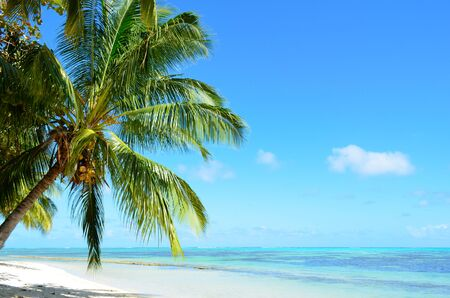 palm trees: A coconut palm tree on a tropical white sand beach with a blue sea on Moorea, an island of the Tahiti archipelago French Polynesia.