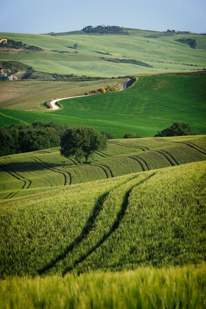 Curvy lines in the landscape of Tuscany created by a rolling green wheat field with a lone tree in it and an unpaved road or white Strade Bianche in the Val dOrcia valley in Italy.