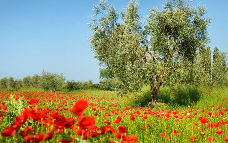 Old olive tree between vibrant red poppies in an olive orchard with a poppy field full of wild flowers in Tuscany, Italy.