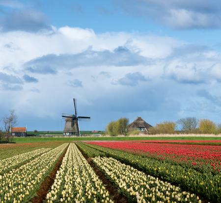 flower bulb: Windmill and a house with colorful yellow and red tulips in the flower fields of the Dutch Bulb Region under a cloudy sky in the countryside of the Netherlands in spring.