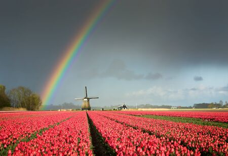 A colorful rainbow in a dark sky over a windmill and a field full of bright red tulips during a spring storm in a landscape near Amsterdam in the Netherlands.
