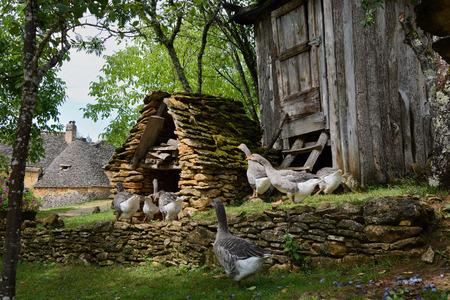 grey house: Grey foie gras geese walking to their goose house on a traditional goose farm near Sarlat, Perigord, Dordogne region, France. Stock Photo