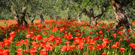 Vibrant red poppy flowers under old olive trees in an olive tree orchard in Italy in panoramic format.