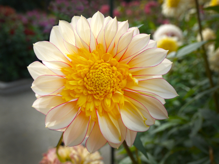 delicated: Beautiful Dahlia dresses like a marigold with yellow heart and delicated red detail.