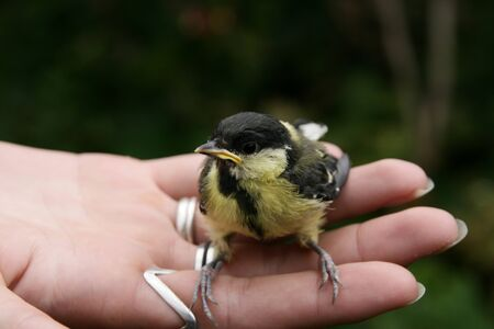 A young great titmouse parus major   photo