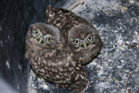 athene: Two young owls  athene noctua