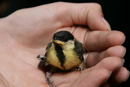 Young great titmouse  Parus major   baby Stock Photo - 15430516