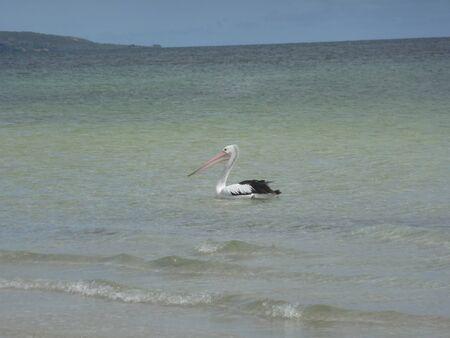 pelikan: Pelican on the beach  Pelecanus conspicillatus