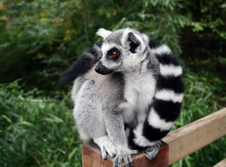 catta: A beautiful ring-tailed lemur  Lemur catta  Stock Photo