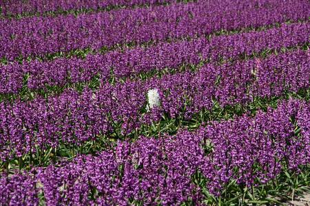 hyacinthus: Hyacints Purple Hyacinthus orientalis con una blanca en el medio Foto de archivo