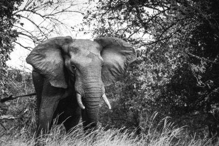 Elephant bull in the bush