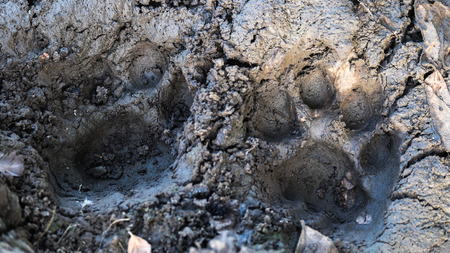 Lion footprint in the mud Stock Photo