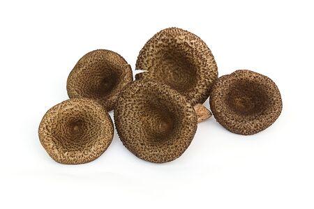 fungoid: Mushrooms (Lentinus polychrous Lev.) isolated on white background.