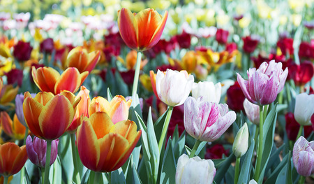 Tulips: Convert tulip shade of a tree with the sun helped create natural beauty. Stock Photo