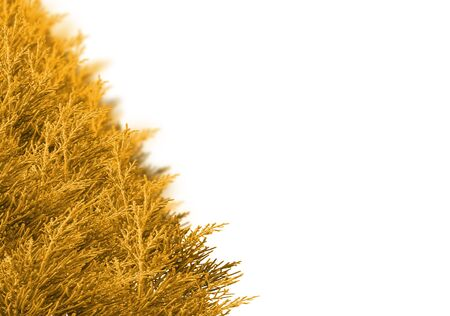 bedeck: Christmas border made from spruce branches over white. Selective focus at the front of the shrub pine golden branches. With pine branches background blur. With copy space.