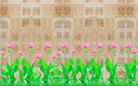 Group of pink siam tulip flower beside the wall clay tiles and with copy space. Stock Photo