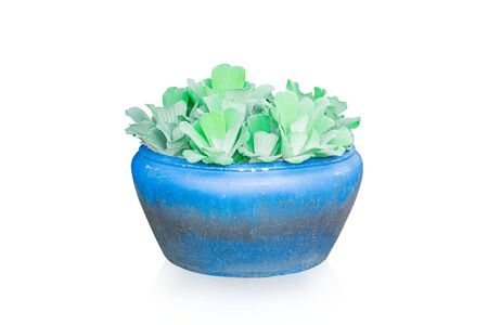 Green duckweeds water plant in potted blue isolated on white background. Ornamental plants in the home garden.