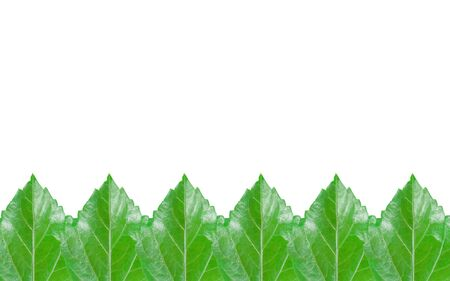 sorted: Sorted green hibiscus leaf pattern isolated on white background with clipping path and copy space. Stock Photo