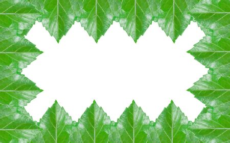 sorted: Sorted green hibiscus leaf pattern isolated on white background Stock Photo