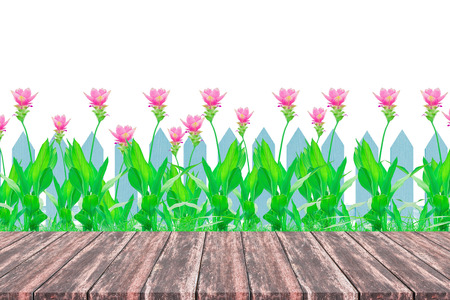 Wood perspective, Group of pink siam tulip flower and blue fence isolated on white background. With copy space. Stock Photo