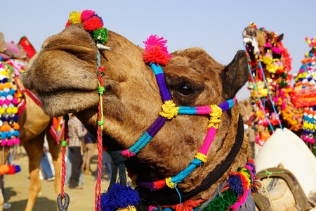 Camel Festival in Bikaner, India Stock Photo - 13019901