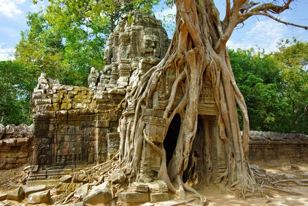 civilization: Huge roots of tropical tree on the temple near Angkor wat