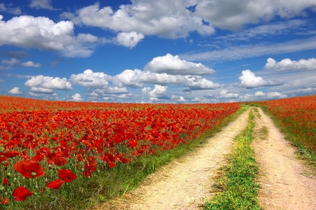 opium poppy: Picturesque landscape with walkway on the poppies plantation  Stock Photo