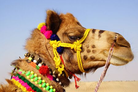 Camel Festival in Bikaner, India photo